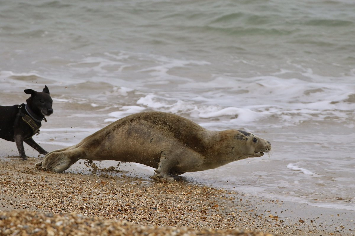 Seal Weymouth Beach